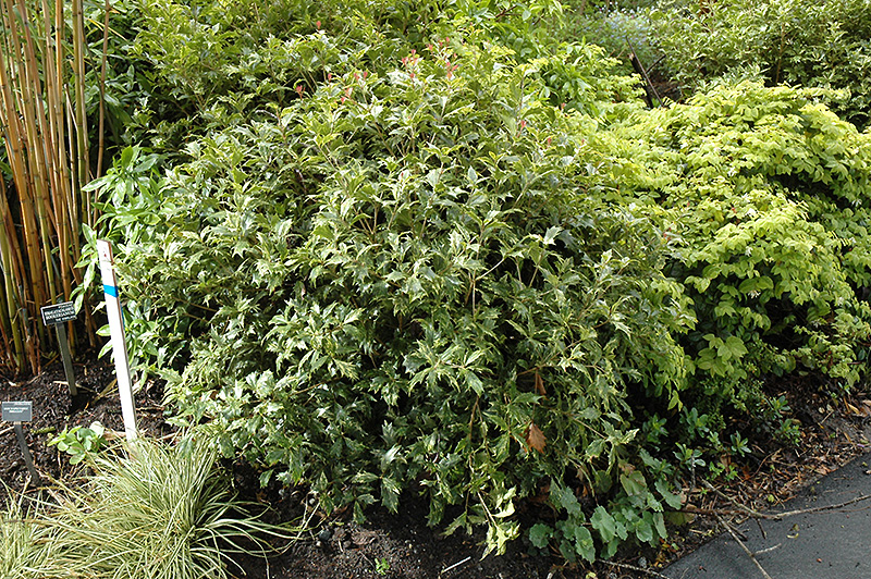 Variegated False Holly Osmanthus Heterophyllus 39 Variegatus 39 In Wilmington Hampstead