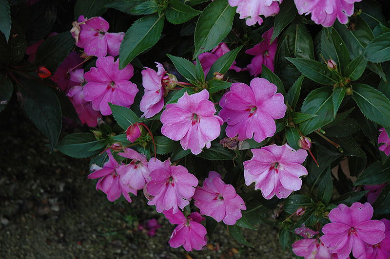 Sun harmony lavender new guinea impatiens impatiens 39 sun for New guinea impatiens