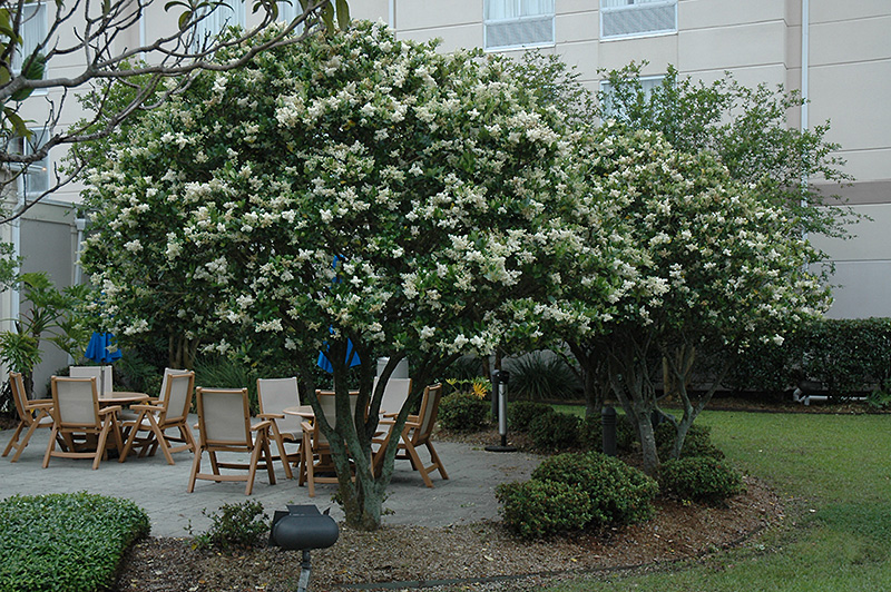 Japanese Privet on wilmington north carolina houses