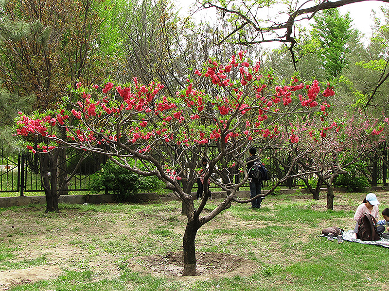 Double Red Flowering Peach (Prunus Persica 'Double Red