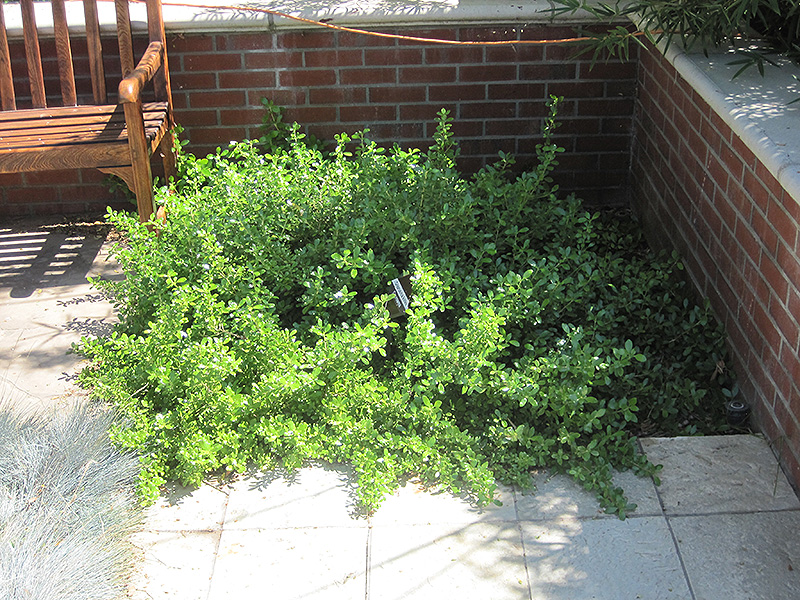 Picture of Live Kirk's Coprosma aka Coprosma kirkii Plant Fit 5 Gallon Pot