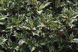 Variegated False Holly Osmanthus Heterophyllus