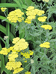 Fernleaf Yarrow (Achillea filipendulina) at Pender Pines Garden Center