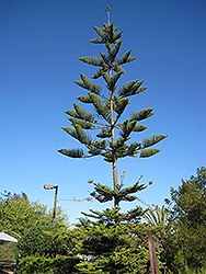 Norfolk Island Pine (Araucaria heterophylla) at Pender Pines Garden Center