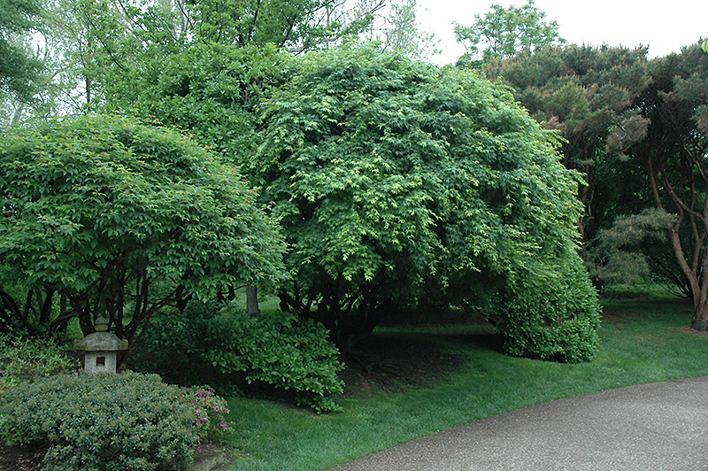 Japanese Maple Acer Palmatum In Wilmington Hampstead Jacksonville