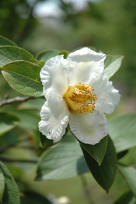 Japanese Stewartia (Stewartia pseudocamellia) at Pender Pines Garden Center