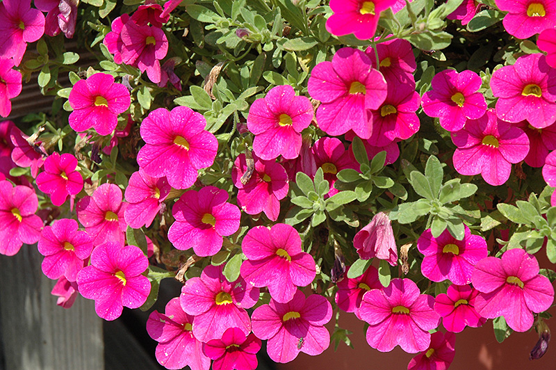 Million Bells 174 Bouquet Brilliant Red Calibrachoa