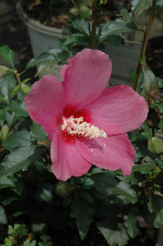Lil Kim Red Rose Of Sharon Hibiscus Syriacus Shimrr38 In