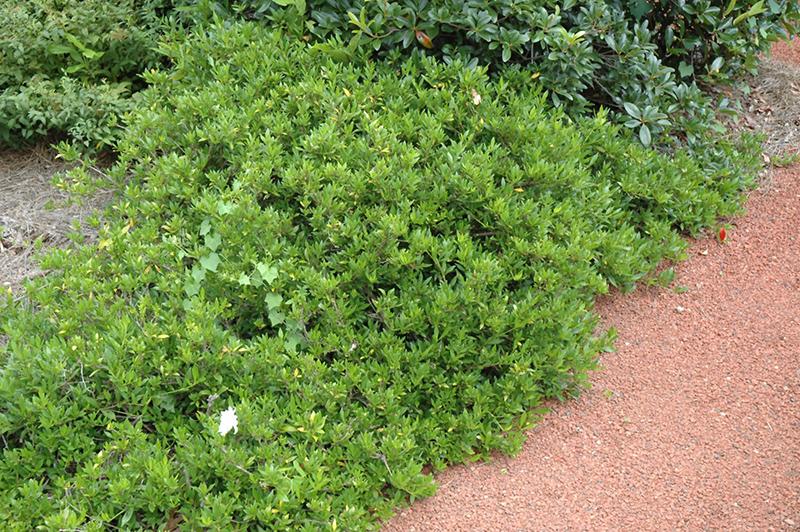 Radicans Miniature Gardenia Gardenia Jasminoides Radicans In