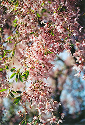 Pink Weeping Higan Cherry (Prunus subhirtella 'Pendula Rosea') at Pender Pines Garden Center