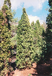 Pyramidal Arborvitae (Thuja occidentalis 'Fastigiata') at Pender Pines Garden Center