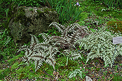 Japanese Painted Fern (Athyrium nipponicum 'Pictum') at Pender Pines Garden Center