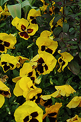 Majestic Giant Yellow Pansy (Viola x wittrockiana 'Majestic Giant Yellow') at Pender Pines Garden Center