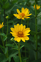 False Sunflower (Heliopsis helianthoides) at Pender Pines Garden Center