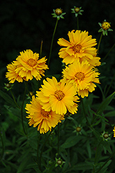 Early Sunrise Tickseed (Coreopsis 'Early Sunrise') at Pender Pines Garden Center