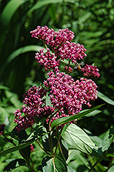 Swamp Milkweed (Asclepias incarnata) at Pender Pines Garden Center