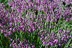 Nodding Onion (Allium cernuum) at Pender Pines Garden Center