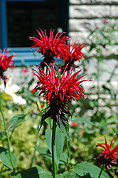 Jacob Cline Beebalm (Monarda 'Jacob Cline') at Pender Pines Garden Center