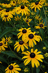 Indian Summer Coneflower (Rudbeckia hirta 'Indian Summer') at Pender Pines Garden Center