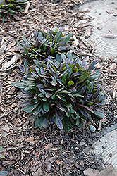 Chocolate Chip Bugleweed (Ajuga reptans 'Chocolate Chip') at Pender Pines Garden Center