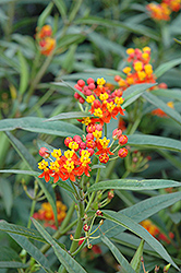 Red Butterfly Milkweed (Asclepias curassavica 'Red Butterfly') at Pender Pines Garden Center