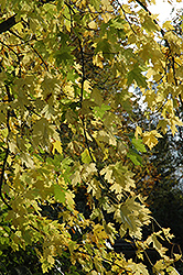 Silver Maple (Acer saccharinum) at Pender Pines Garden Center