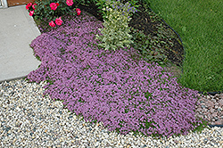 Red Creeping Thyme (Thymus praecox 'Coccineus') at Pender Pines Garden Center
