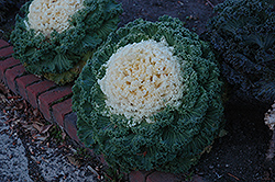 White Kale (Brassica oleracea 'White') at Pender Pines Garden Center
