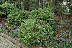 Wintergreen Boxwood (Buxus microphylla 'Wintergreen') at Pender Pines Garden Center