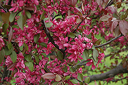 Profusion Flowering Crab (Malus 'Profusion') at Pender Pines Garden Center