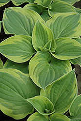 Wide Brim Hosta (Hosta 'Wide Brim') at Pender Pines Garden Center