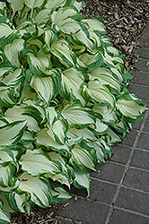 White Christmas Hosta (Hosta 'White Christmas') at Pender Pines Garden Center
