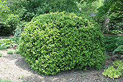Japanese Boxwood (Buxus microphylla 'var. japonica') at Pender Pines Garden Center