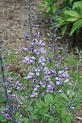 Purple Smoke False Indigo (Baptisia 'Purple Smoke') at Pender Pines Garden Center