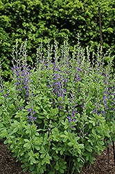 Blue Wild Indigo (Baptisia australis) at Pender Pines Garden Center