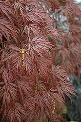 Inaba Shidare Cutleaf Japanese Maple (Acer palmatum 'Inaba Shidare') at Pender Pines Garden Center