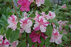 Encore® Autumn Twist™ Azalea (Rhododendron 'Conlep') at Pender Pines Garden Center