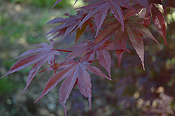 Moonfire Japanese Maple (Acer palmatum 'Moonfire') at Pender Pines Garden Center