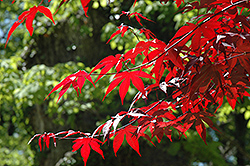 Emperor I Japanese Maple (Acer palmatum 'Wolff') at Pender Pines Garden Center