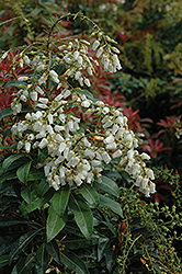 Mountain Fire Japanese Pieris (Pieris japonica 'Mountain Fire') at Pender Pines Garden Center