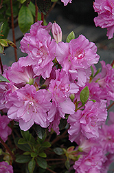 Elsie Lee Azalea (Rhododendron 'Elsie Lee') at Pender Pines Garden Center