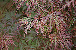 Orangeola Cutleaf Japanese Maple (Acer palmatum 'Orangeola') at Pender Pines Garden Center