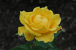 Midas Touch Rose (Rosa 'Midas Touch') at Pender Pines Garden Center