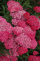 Saucy Seduction Yarrow (Achillea millefolium 'Saucy Seduction') at Pender Pines Garden Center