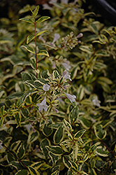 Twist of Lime™ Glossy Abelia (Abelia x grandiflora 'Hopley's') at Pender Pines Garden Center