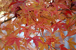 Butterfly Variegated Japanese Maple (Acer palmatum 'Butterfly') at Pender Pines Garden Center