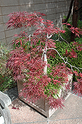 Ever Red Lace-Leaf Japanese Maple (Acer palmatum 'Ever Red') at Pender Pines Garden Center
