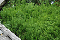 Common Horsetail (Equisetum arvense) at Pender Pines Garden Center