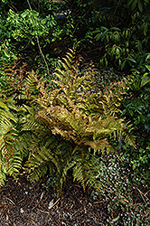 Autumn Fern (Dryopteris erythrosora) at Pender Pines Garden Center