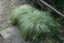 New Zealand Hair Sedge (Carex comans 'Frosted Curls') at Pender Pines Garden Center